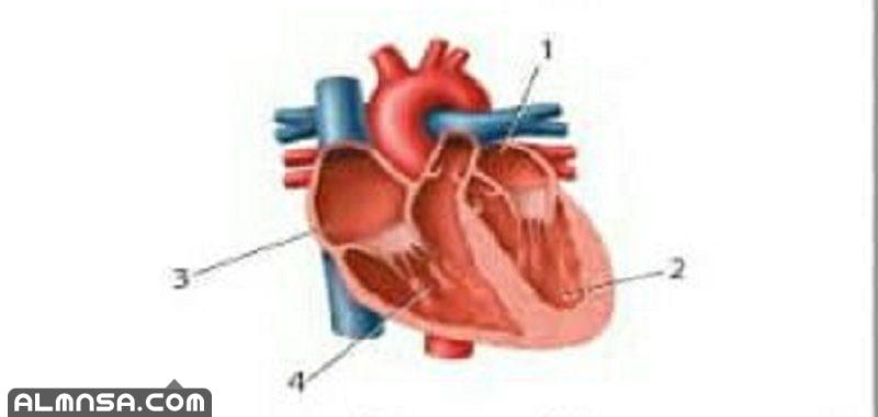 أي أجزاء القلب يدخل اليه الدم المؤكسج؟