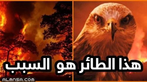 الطائر الذي يحرق الغابات