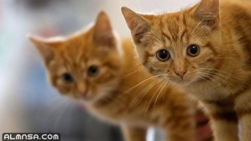 هل يجوز بيع القطط ابن باز