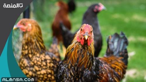 تفسير رؤية الدجاج في المنام لابن سيرين