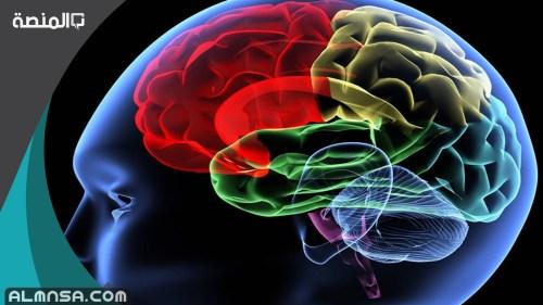 هل الدماغ هو اقل الاعضاء عظاما في جسم الانسان