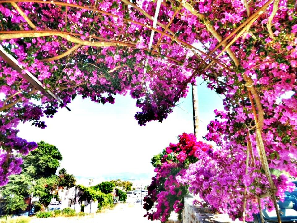 Boungavilea-Corfu-Town