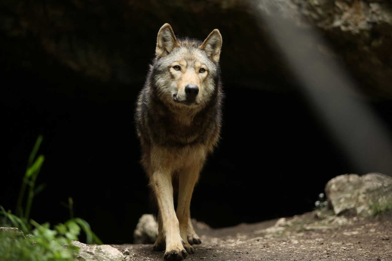 "From Just Freedom to ""The Promise"": the wolf in the world of Almo Nature"