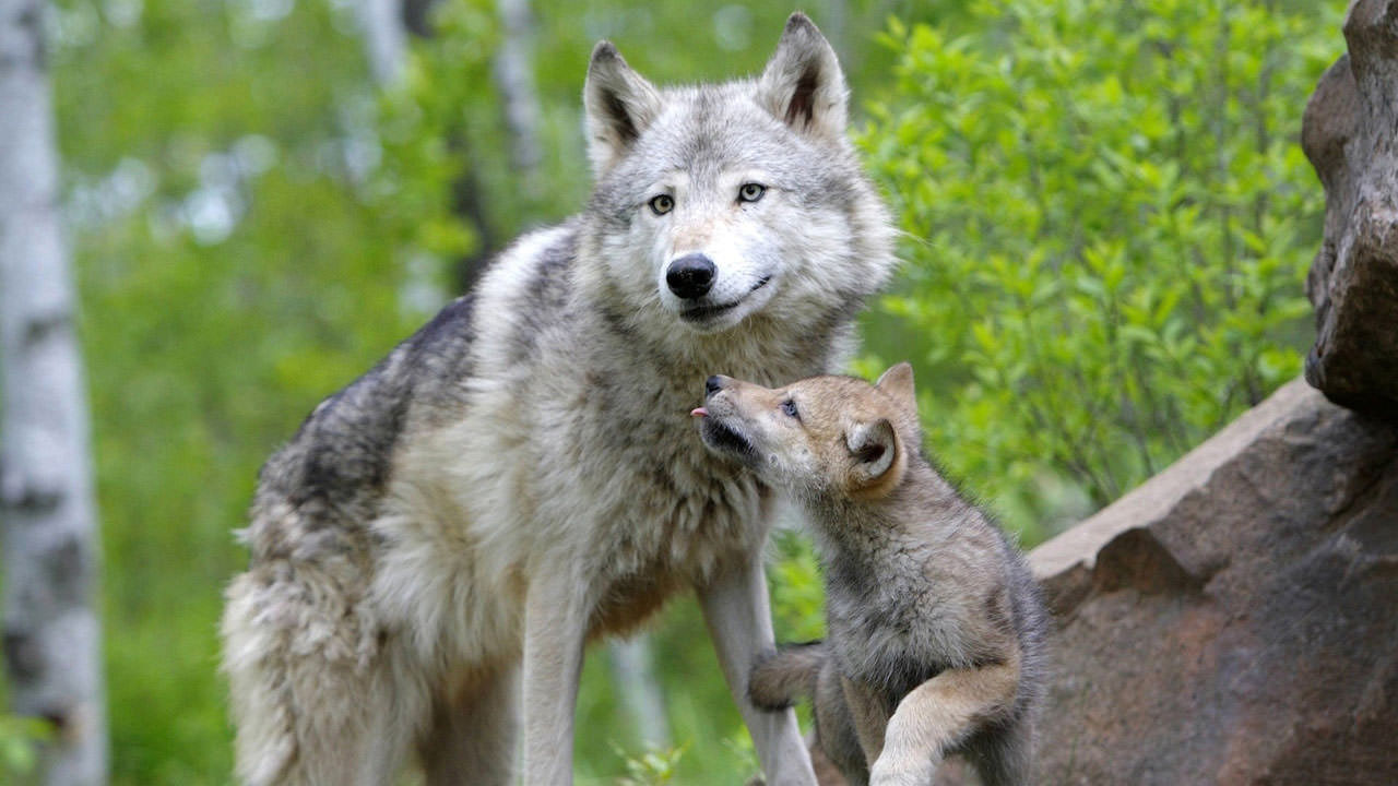 Are wolves more tolerant than dogs? The 'social' differences between the two