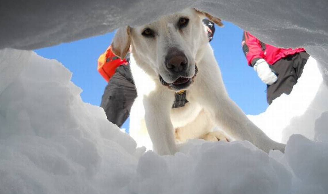 Avalanche dogs: complex training for rescue at high altitude