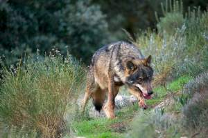"Farmers & Predators: Spain, to the ""river of wolves"" and beyond the Duero"