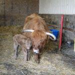 2013-calves-028