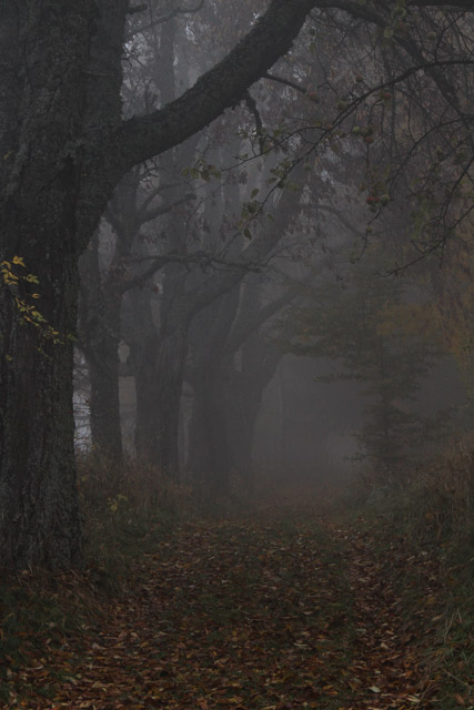 line of trees in fog