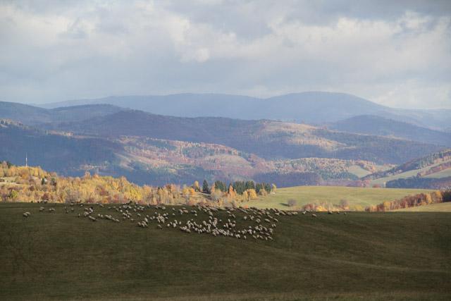 sheep grazing in meadows