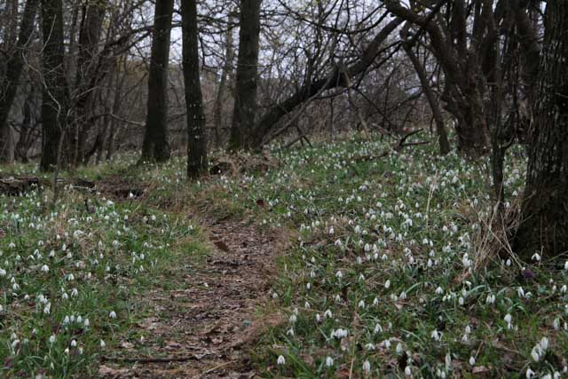 Snowdrop carpet in the Slovak Karpaty, Almost Bananas blog