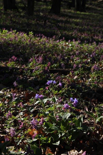 Lungwort flower in Slovakia