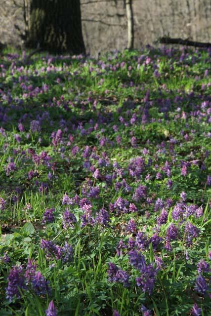 chocholacka duta kvety