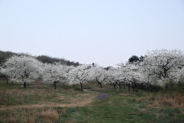 Blossoming cherry orchard