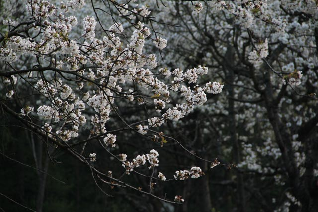 Thick cherry blossoms