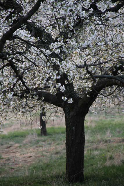 blossoming cherry tree