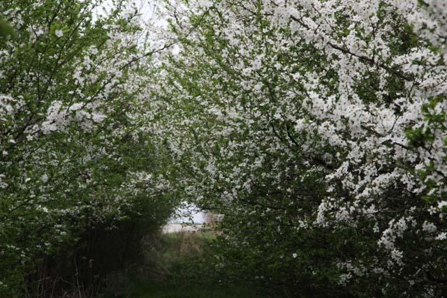 Mirabelle plum blossom tunnel