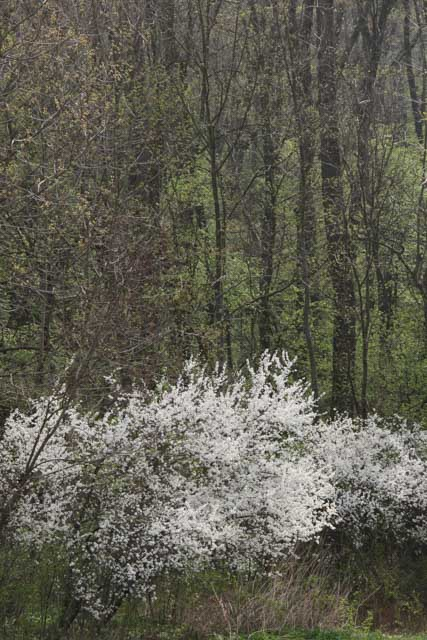 Flowering blackthorn in forest