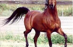 افضل انواع الخيول في العالم المرسال