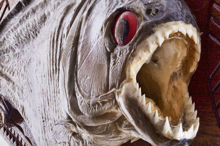 Man-eating river fish
