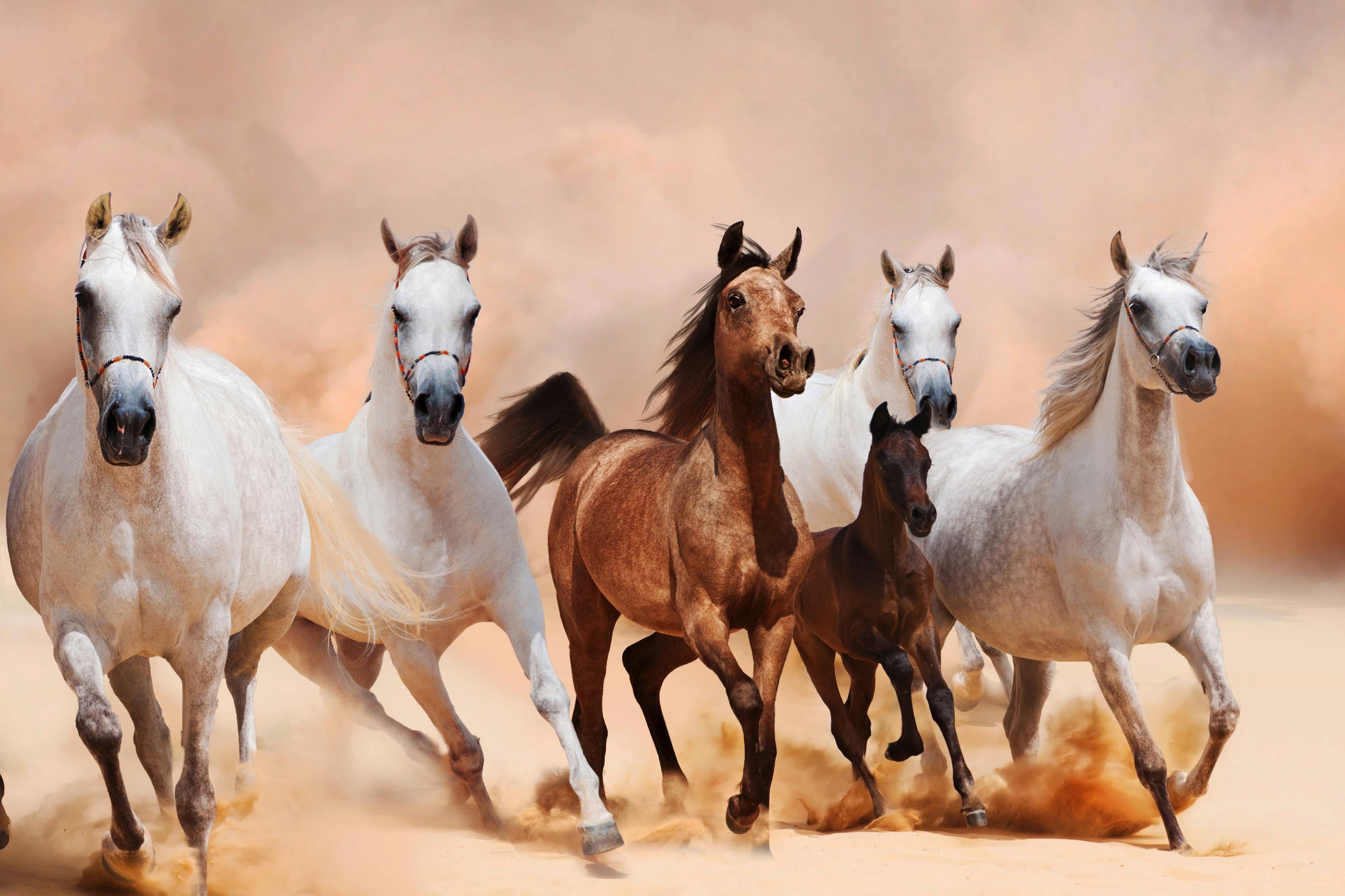 اجمل الصور للخيول العربية الاصيلة المرسال