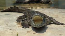 تفسير حلم التمساح يأكل طفل في المنام