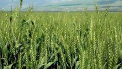 تفسير حلم زراعة القمح في المنام