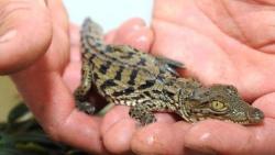 تفسير حلم رؤية تمساح صغير في المنام