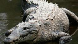 تفسير حلم رؤية التمساح الكبير في المنام للعزباء في المنام