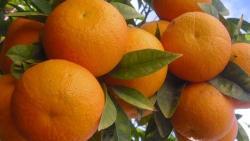 تفسير حلم البرتقال الناضج في المنام