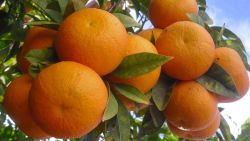 تفسير حلم البرتقال الكبير في المنام