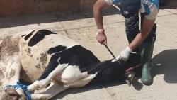 تفسير حلم ذبح البقرة في المنام للنابلسي