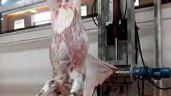 تفسير حلم سلخ البقرة في المنام