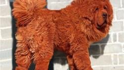 تفسير حلم الكلب الأحمر في المنام