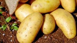 تفسير حلم رؤية البطاطس النية في المنام