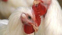 تفسير حلم نقر الدجاج في المنام