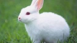 تفسير حلم رؤية الأرنب الأبيض للمطلقة في المنام