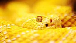 تفسير حلم أفعى لونها أصفر في المنام