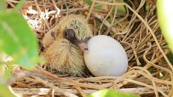 تفسير حلم رؤية بيض اليمام في المنام
