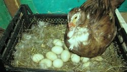 تفسير حلم رؤية بيض البط في المنام