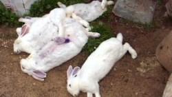 تفسير حلم الأرانب الميتة في المنام