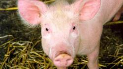 تفسير حلم الهروب من الخنزير في المنام