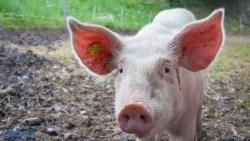 تفسير حلم رؤية الخنزير مذبوح في المنام