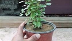 تفسير حلم شراء نبات الريحان في المنام