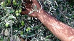 تفسير حلم قطف الزيتون الأخضر في المنام