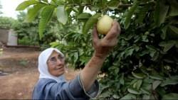 تفسير حلم قطف ثمار الجوافة في المنام