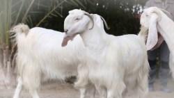 تفسير حلم الماعز الأبيض في المنام