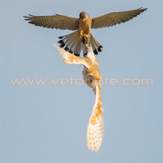 صقر يسرق طعام بومة أثناء الطيران في الهواء1