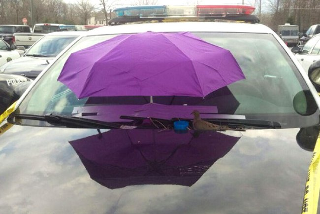 ماذا فعل ضباط شرطة مع حمامة بنت عش فوق سيارتهم1