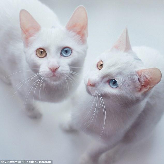 قطتان تشعلان إنستجرام بسبب حالة وراثية نادرة - قطة - قطط2