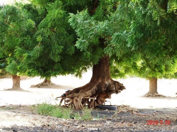 شجرة تتحدى كل الظروف وتتمسك بالحياة - أواسط السودان